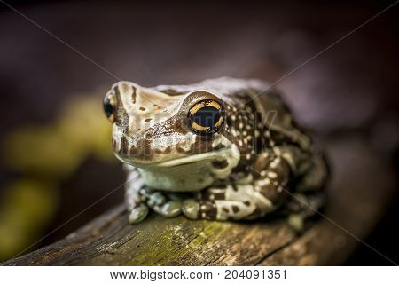 Colorful frog on wood with big eyes. Macro toad close up