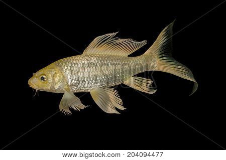 Gold koi fish isolated on Black background Clipping path