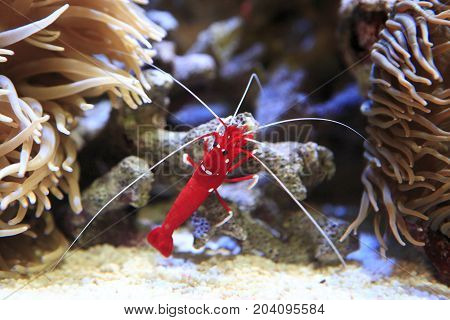 Red tropical shrimp between two sea anemones