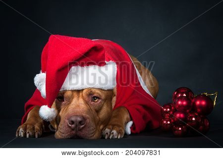 Dog, pit bull in the clothes of Santa Claus. Postcard, congratulations.