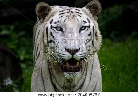 rare white bengal tiger looking straight with open mouth showing teeth majestic close up view with nice dark green background