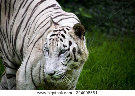 rare white bengal tiger looking majestic close up view looking back