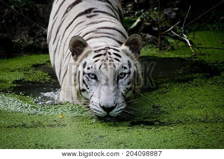 rare white bengal tiger swimming in water looking straight into eyes with black dtrikes