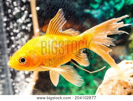 goldfish floating in an aquarium at home .
