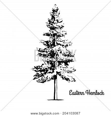 Vector sketch illustration. Black silhouette of Eastern or Canadian Hemlock isolated on white background. Drawing of coniferous Tsuga Canadensis, Pennsylvania state tree.