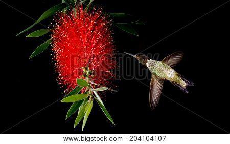 Hummingbird with tropical Bottlebrush flower over black background
