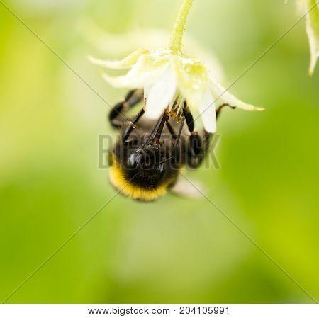a bee on a flower in raspberries .