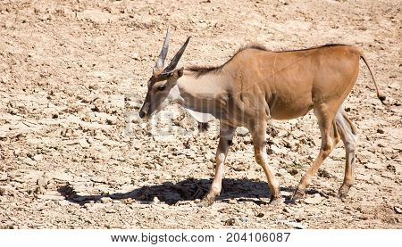 Life of an antelope in a deserted park