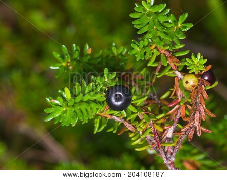 Black crowberry Empetrum nigrum berry on branch with needle-like leaves close-up selective focus shallow DOF.
