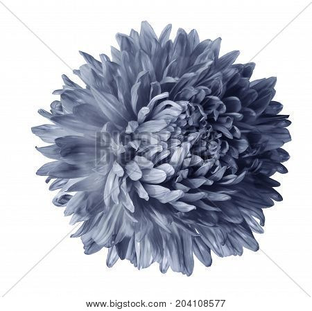 Gray aster flower isolated on white background with clipping path. Closeup no shadows. Nature.