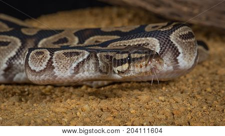 Close up photograph of a pastel royal python curled up with its tongue protruding looking slightly to the right
