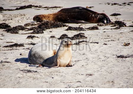 Baby seal and mother seal by the beach in Kangaroo Island, South Australia, Australia