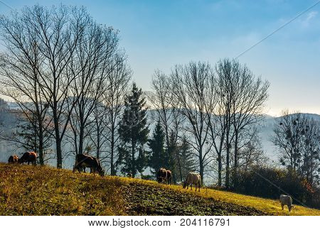 Cow Grazing On Hillside In Autumnal Countryside