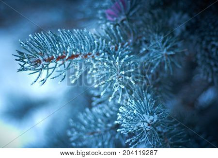 Winter frost on spruce christmas tree close-up .Shallow depth-of-field.