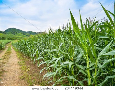 Rows of plantation green corn field with bright blue sky