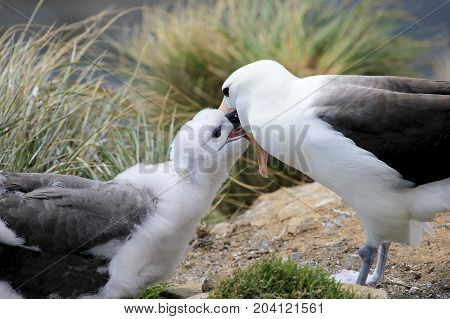 Black Browed Albatross, thalassarche melanophris, Falkland Islands, Islas Mavinas