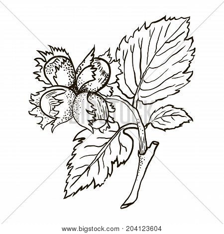 Hand drawn sketch illustration with hazelnut branch with leaves and fruits