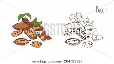 Colored and monochrome drawings of pecan in shell and shelled with leaves. Delicious edible drupe or nut hand drawn in elegant vintage style. Natural vector illustration