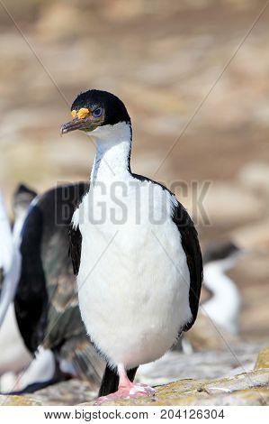 Imperial Shag Cormorant, phalacrocorax atriceps, Falkland Islands, Islas Malvinas