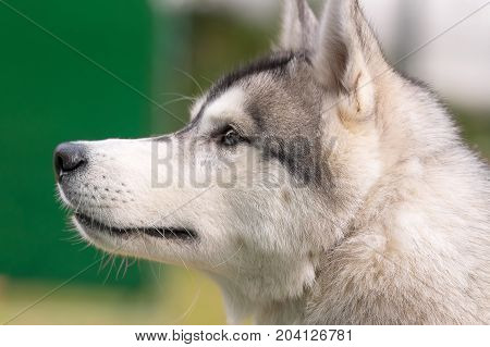 Siberian Husky is used as a sled and as a dog-company. Refers to a group of Spitz.. Space under the text. 2018 year of the dog in the eastern calendar Concept: friend, protection, loyalty, vigilance, security