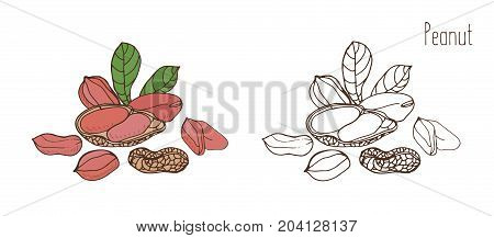 Colored and monochrome drawings of peanut in shell and shelled with leaves. Delicious edible drupe or nut hand drawn in elegant vintage style. Natural vector illustration