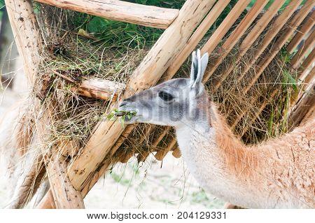 Lama Funny Eats Hay
