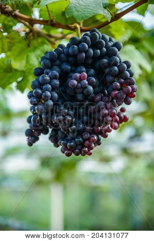 Bunch of red grapes with its branch in the grape farm