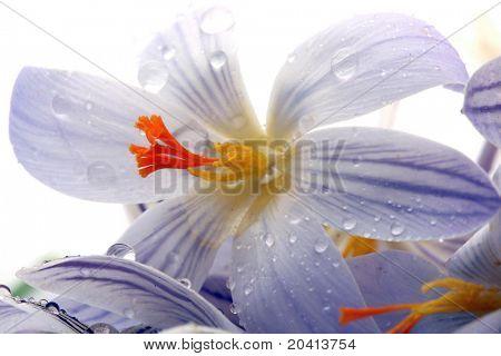 snowdrops flowers. macro