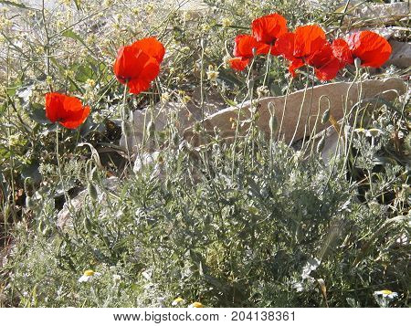 Clump of wild red poppies on roadside verge in countryside in Andalusia
