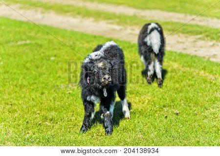 Two Yak calves Orkhon Valley Khangai Nuruu National Park Oevoerkhangai Aimag province Mongolia