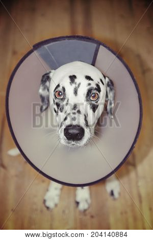 Sick dalmatian dog wearing a protective collar. Focus on nose