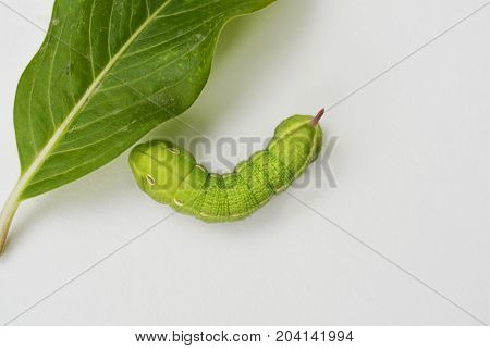 green caterpillar butterfly of the family parusnikova next to the green leaf