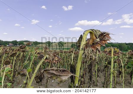 A wide angle landscape with a field of decayed and dried sunflowers and a groves in the background