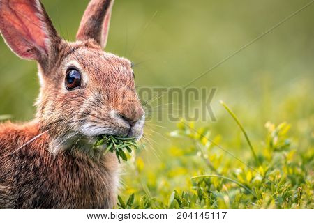 Young Eastern Cottontail Rabbit (Sylvilagus Floridanus) closeup munches on fresh greens