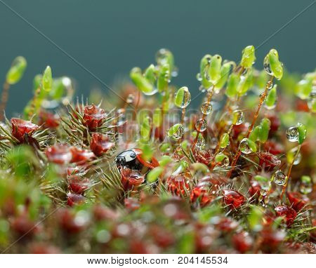 Ladybird Hidden In Moss After The Rain