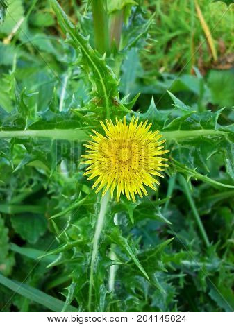 Yellow Prickly Sowthistle Flower with Green Leaves - Portrait