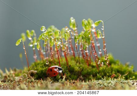 Ladybird Rests Under Moss Patch