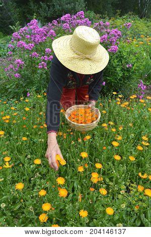 Senior woman picking medical calendula marigold flowers in garden
