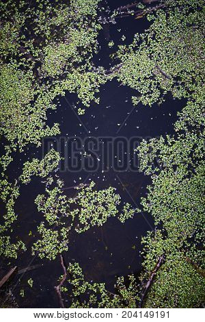 Lemna duckweed green on water edge vertical close up