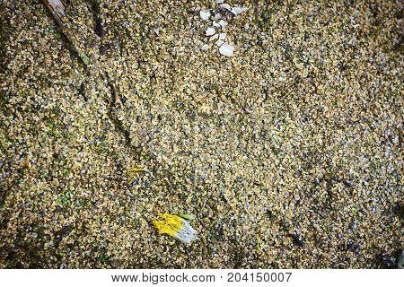 Lemna duckweed deep green cockleshell close up