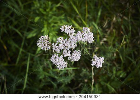 Achillea milfoil yarrow white blossom on dark green background