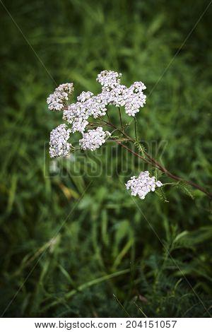Achillea milfoil yarrow white blossom and green steam