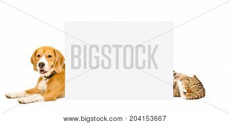 Beagle and cat Scottish Fold lying behind a banner, isolated on white background