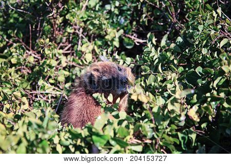 Detail of rock hyrax also called cape hyrax or in South African English - the dassie