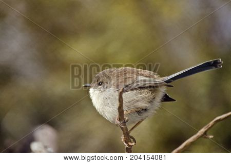 this is a close up of a fairy wren