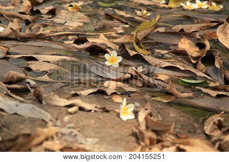 Dry leaves fallen on the ground with Plumeria flower in focus brown white yellow color pallete nature background plumeria also known as frangipani is in Sri Lanka associated with worship