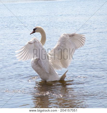 Swan spreads its wings at dawn .