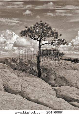 Lone ponderosa pine on the sandstone bluffs overlooking El Malpais