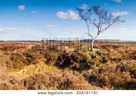 Lone Birch Tree at Rowseley Moor Derbyshire