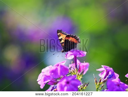 beautiful butterfly gathers nectar from purple flowers on a Sunny summer day